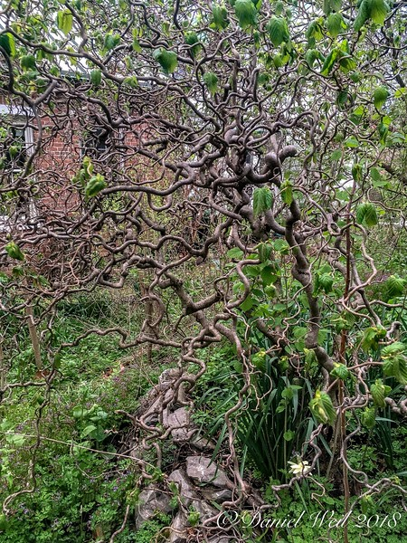 Harry Lauder's Walking Stick (Contorted Corylus) leaing out