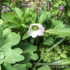 Hellebore, getting set to crowd out a bloodroot