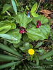 Red trillium and dent-de-leon and one brave little bell of mertensia