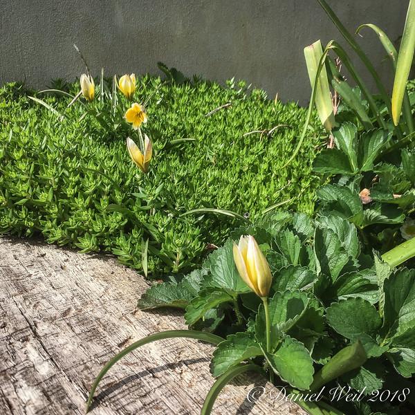 Species tulips under Sedum acre and strawberries.
