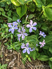 Woods phlox among varieg. lily of valley ex Kevin Macintosh