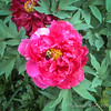 Tree peony with bumblebee, 2018- go for it, bee!