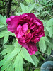 Red-purple tree peony 2018