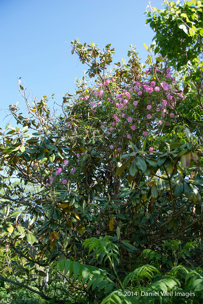 Rose climbing Edith Bogue Magnolia