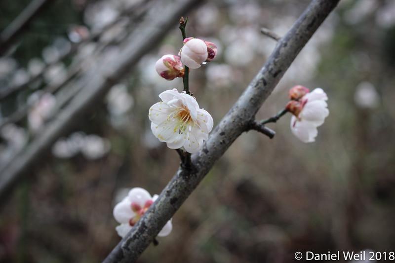 Prunus mume 'Fragrant Snow'