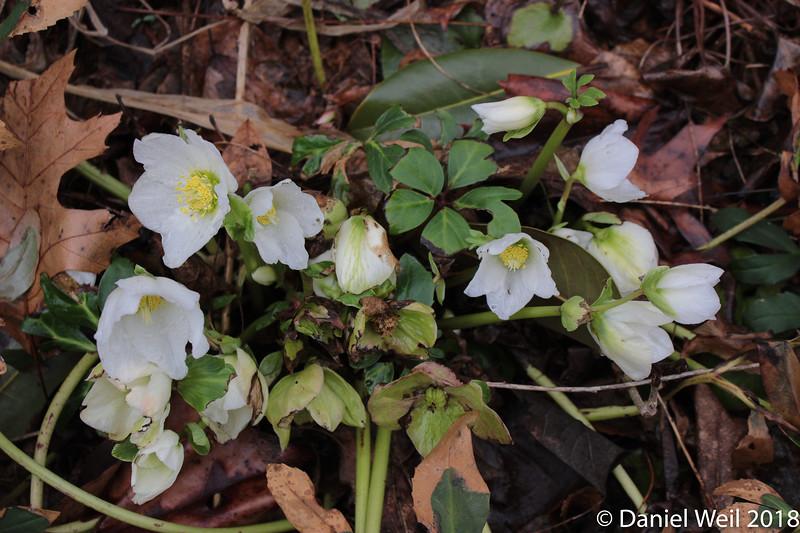 H. niger hybrid in bloom since mid-December