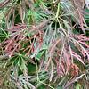 Red maple N of entr to Secr Garden 5/6/19