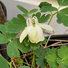 Columbine, some flabellata genes, end Apr 2019 volunteer in pot