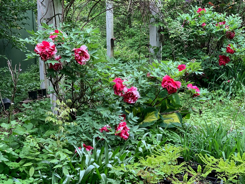 Shimanishiki foreground, red in background, Curiosity rose, early May 19