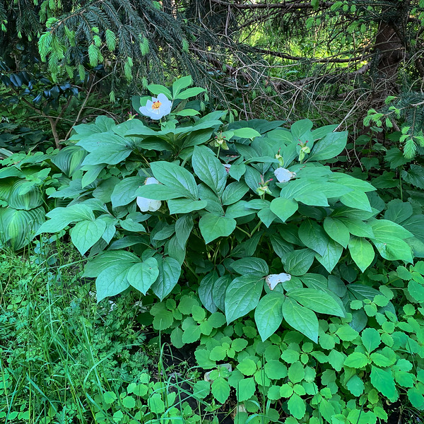 Woods peony NW corner Crater, 5/6/19