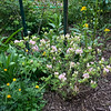 Pink rose type azalea, ranunculus, senecio?  SE corner library end APr 2019