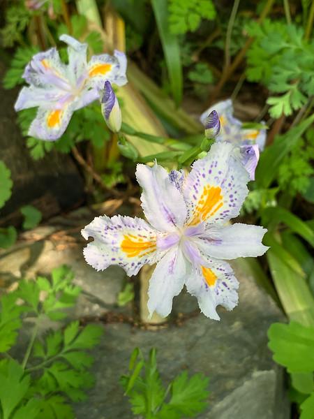 Iris japonica end Apr 2019