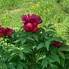 Red tree peony prob NE corner Back Forty end Apr 2019