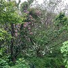 May 3-4 2019; rose climbing Edith Bogue magnolia