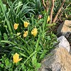 Tulips stone bed SW of W end of big arbor end Apr 2019