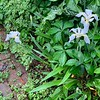 White Iris tectorum chicken house walk, early may 2019