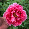 Tree peony end April 2019