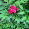 tree peony S of library; cage for mum end Apr 2019