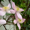 Clematis montana cv large arbor end apr 2019