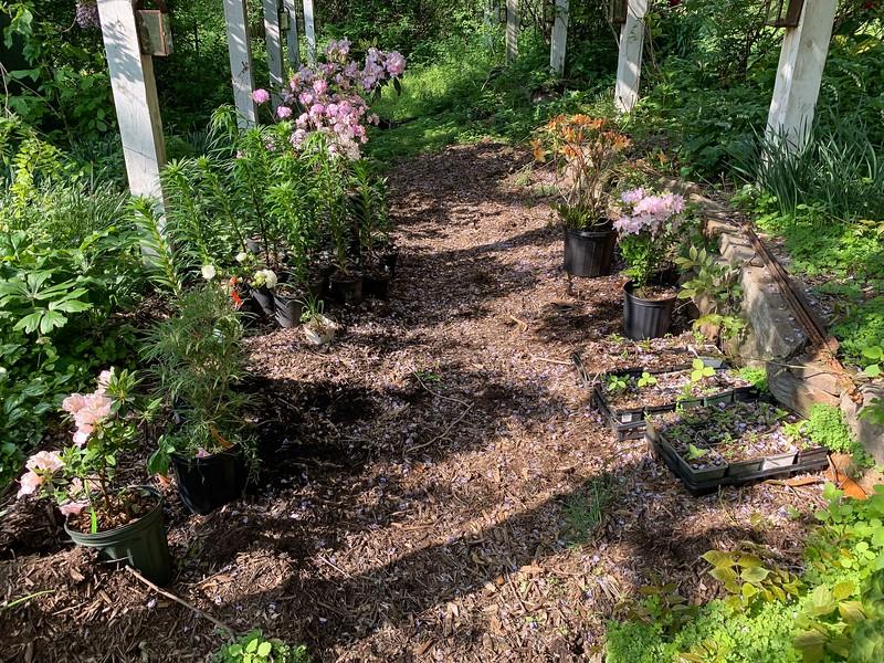 Lilies, azaleas, trilliums in pots under sm arbor.   Note, planted orange azalea by yellow azalea NW of garage, 5/6/18