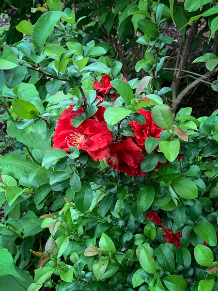 Red fl quince SE corner library, v. late, end Apr 2019