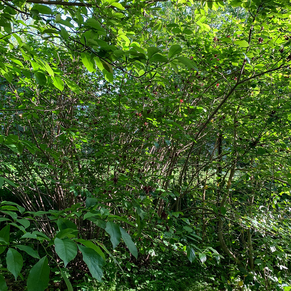 Calycanthus floridus, here when we came, 5/6/19
