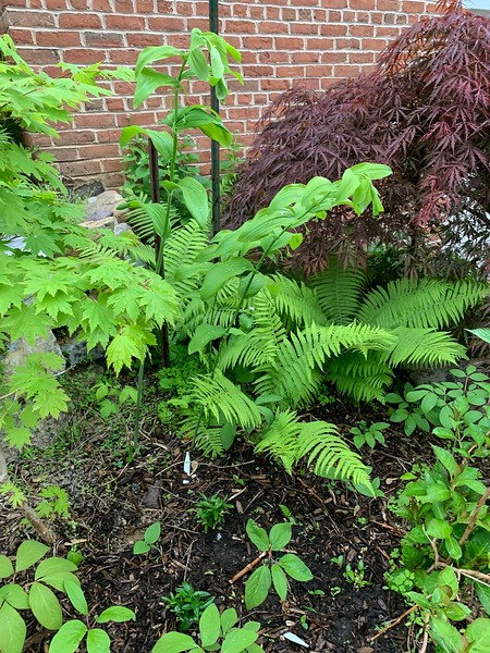 W of garage, pink woods peony seedls and giant Sol seal ex AF, early may 19