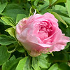 pink tree peony end Apr 2019
