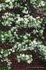 Staphylea (bladdernut tree) - rare here and has extraordinary scent