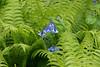 Virginia bluebells (Mertensia virginica) and ostrich fern