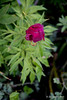Herbaceous Peony Early Scout