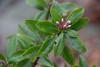 Daphne 'Sweet Amethyst', N of new addition