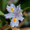 Surprise Iris in Greenhouse