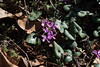 Another Cyclamen