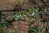 Galanthus in Garden