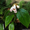 Hemiboea, more blossoms have emerged from the sheath