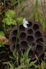 Habernaria radiata w/lotus pod 9/7/16