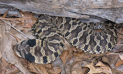 Easter Hog-nosed Snake