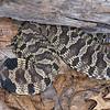 Easter Hog-nosed Snake