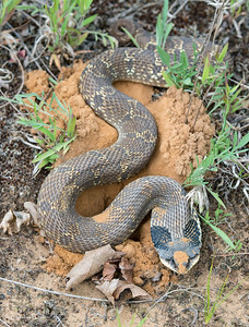 Eastern Hog-nosed Snake digging a nest hole