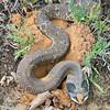Eastern Hog-nosed Snake digging a nest hole
