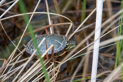 Juvenile Midland Painted Turtle