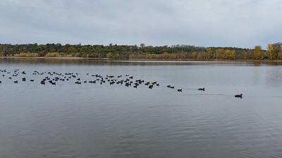 Hundreds of ducks on the Saint Croix River.