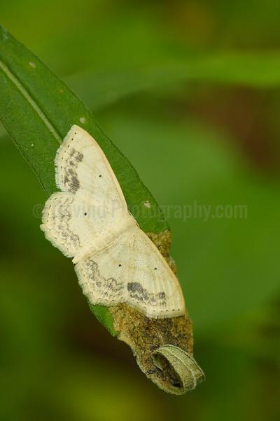 Lace Border Moth
