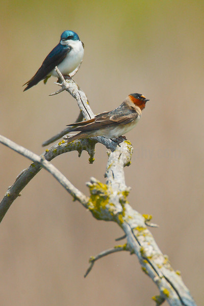 Tree and Cliff Swallows