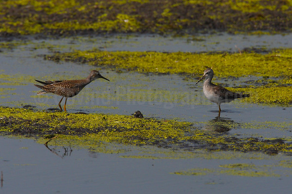 Face-off: Yellowlegs fighting over feeding territory