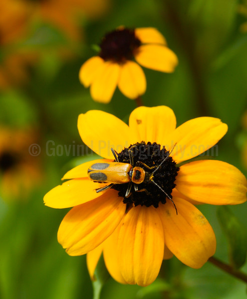 Soldier Beetle on Coneflower