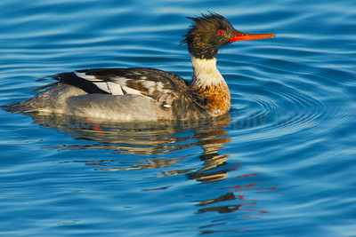 Red Breasted Merganser (M)
