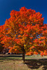 A brilliant orange maple tree in fall foliage in Bayfield, Wisconsin, USA.