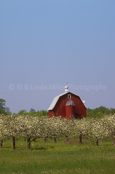 43369 Door County Apple Orchard in Blossom and Red Barn